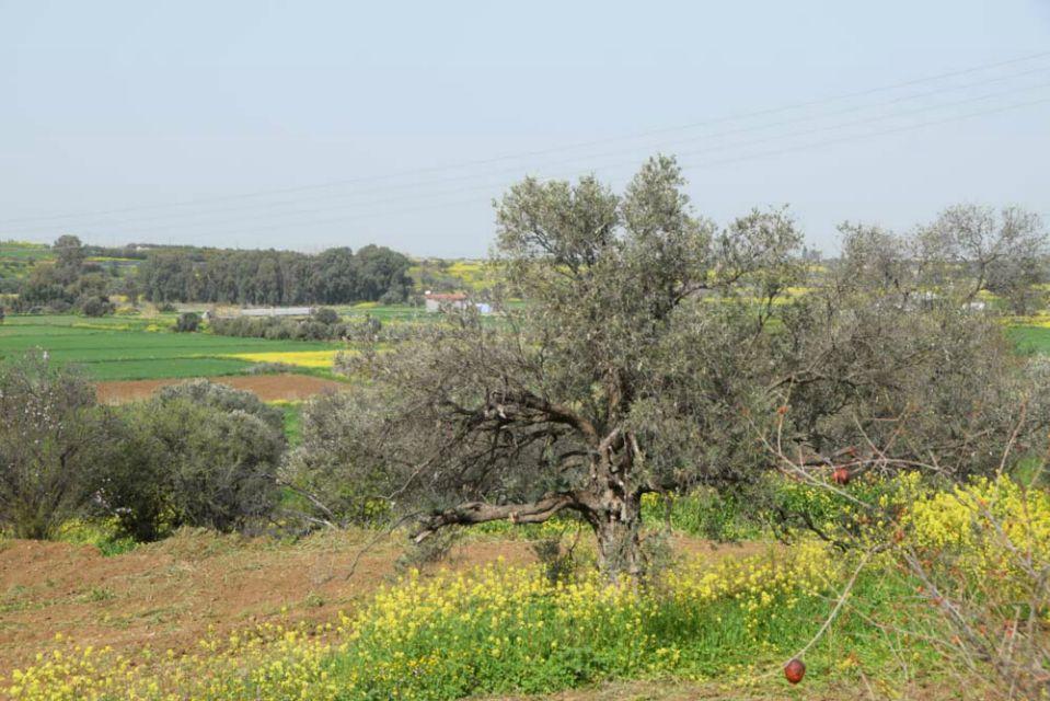 olive_c_4